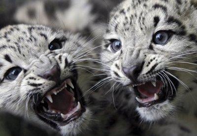2 bébés léopards panthère noire Part.3-Atlaneastro
