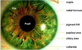 l'iridologie iris vert et tache noisette Part.&-Atlaneastro