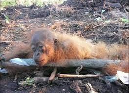 biologie dommage de l'huile de palme un singe dénutrit Part.4-Atlanrastro